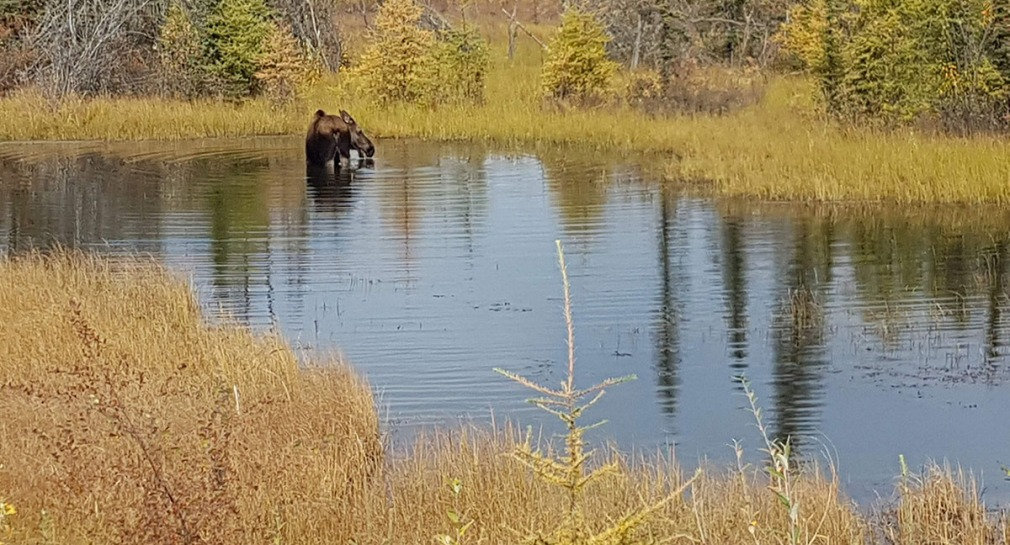 Pregnant Moose Cow eating lichens in a lake